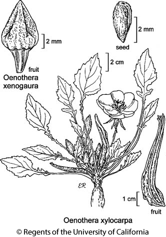 botanical illustration including Oenothera xylocarpa