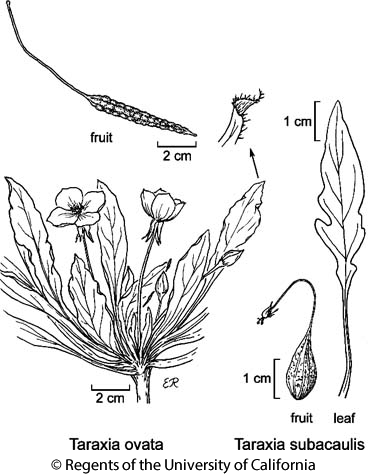 botanical illustration including Taraxia subacaulis