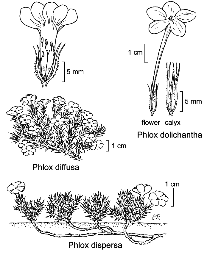 botanical illustration including Phlox dispersa