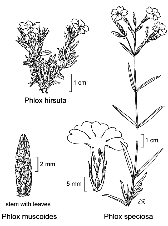 botanical illustration including Phlox muscoides
