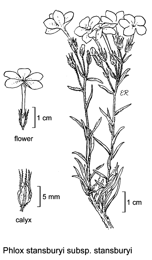botanical illustration including Phlox stansburyi subsp. stansburyi