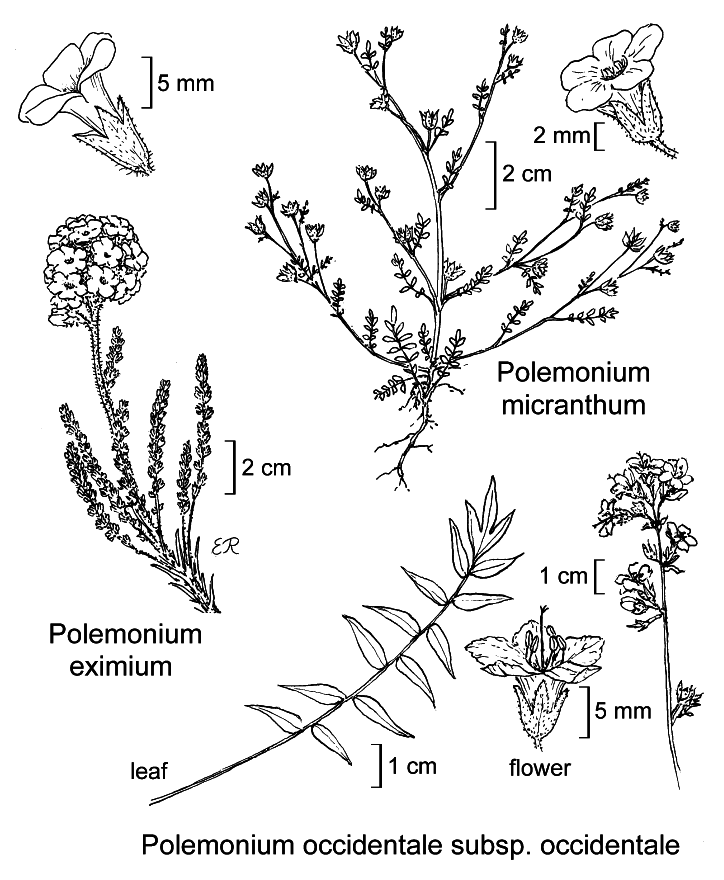botanical illustration including Polemonium eximium