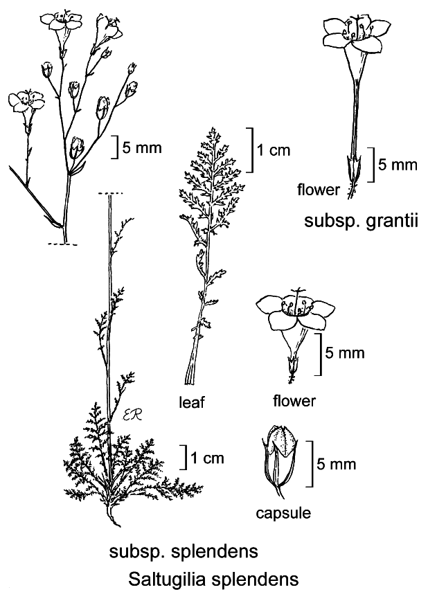 botanical illustration including Saltugilia splendens subsp. splendens