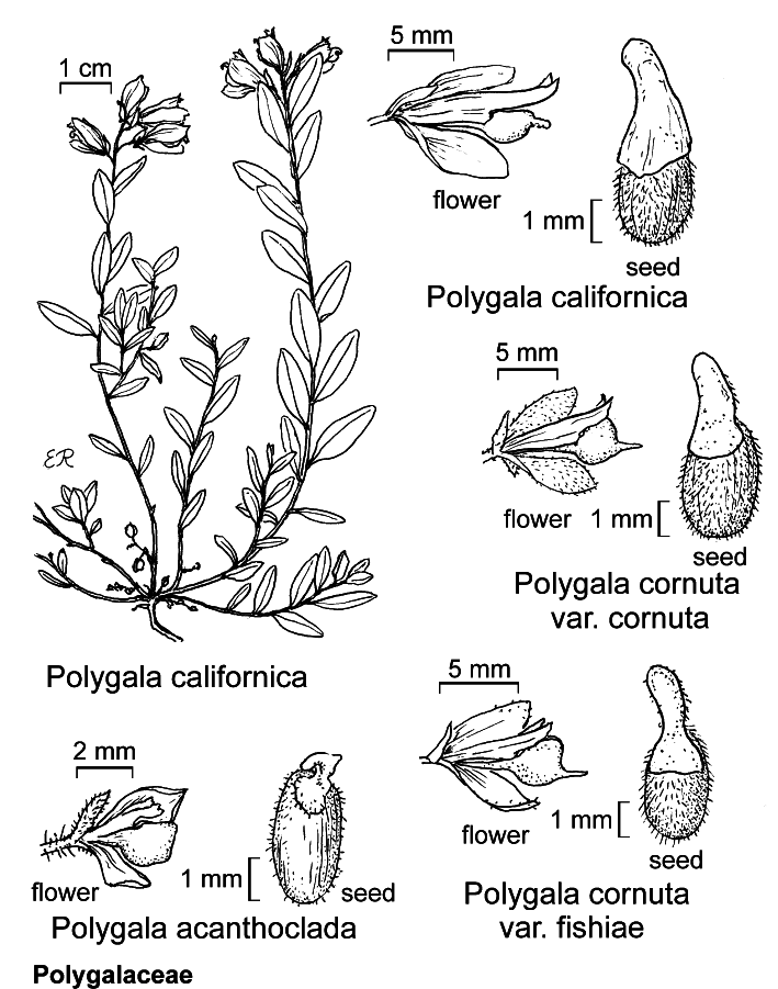 botanical illustration including Polygala cornuta var. cornuta