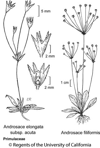 botanical illustration including Androsace filiformis