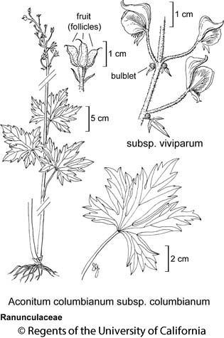 botanical illustration including Aconitum columbianum subsp. viviparum