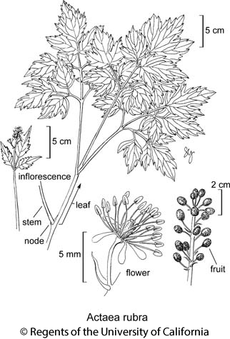 botanical illustration including Actaea rubra