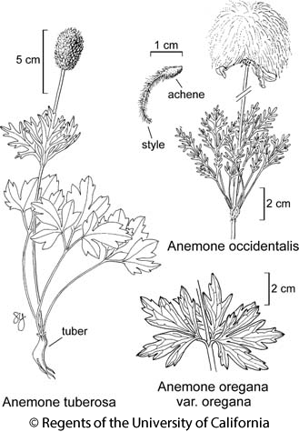 botanical illustration including Anemone occidentalis