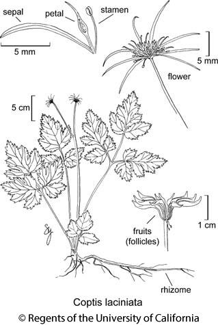 botanical illustration including Coptis laciniata