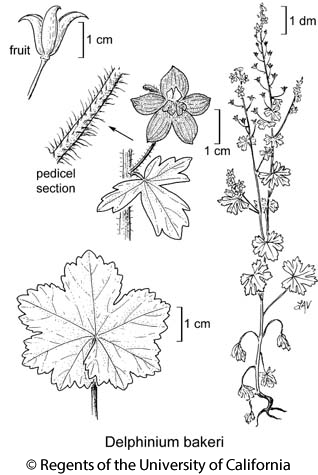 botanical illustration including Delphinium bakeri