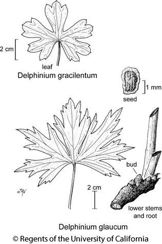 botanical illustration including Delphinium glaucum