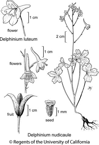 botanical illustration including Delphinium luteum