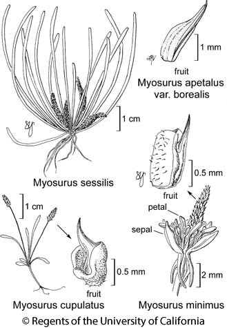 botanical illustration including Myosurus minimus