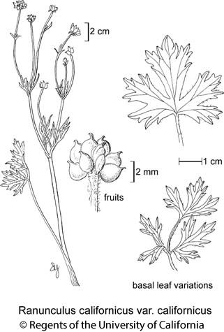 botanical illustration including Ranunculus californicus var. californicus