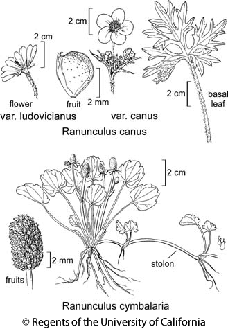 botanical illustration including Ranunculus canus var. ludovicianus