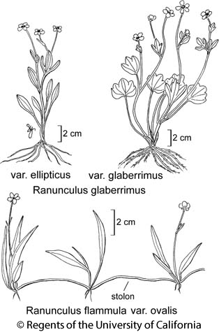botanical illustration including Ranunculus glaberrimus var. glaberrimus