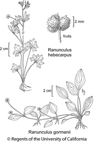 botanical illustration including Ranunculus gormanii
