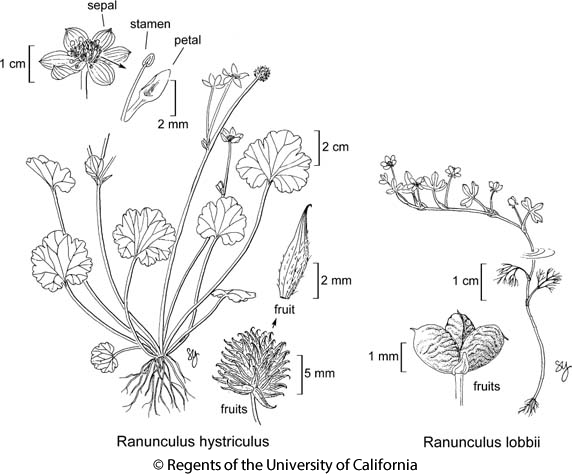 botanical illustration including Ranunculus hystriculus