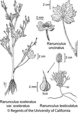 botanical illustration including Ranunculus testiculatus