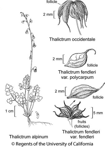 botanical illustration including Thalictrum fendleri var. polycarpum