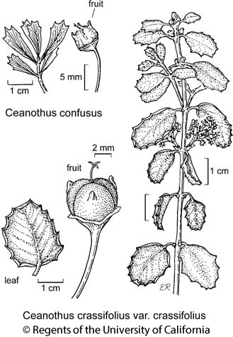 botanical illustration including Ceanothus confusus
