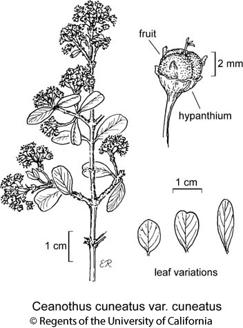 botanical illustration including Ceanothus cuneatus var. cuneatus