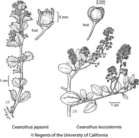 botanical illustration including Ceanothus leucodermis