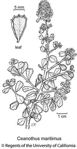 botanical illustration including Ceanothus maritimus