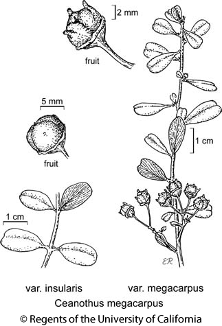 botanical illustration including Ceanothus megacarpus var. megacarpus