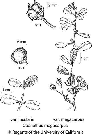 botanical illustration including Ceanothus megacarpus var. insularis