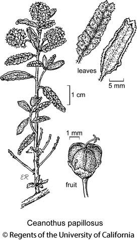 botanical illustration including Ceanothus papillosus