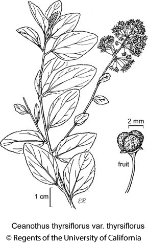 botanical illustration including Ceanothus thyrsiflorus var. thyrsiflorus