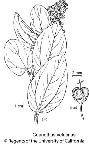botanical illustration including Ceanothus velutinus