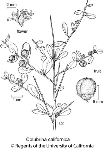botanical illustration including Colubrina californica