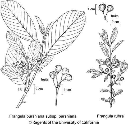 botanical illustration including Frangula purshiana subsp. purshiana