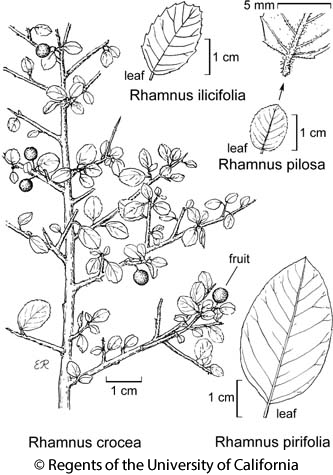 botanical illustration including Rhamnus ilicifolia