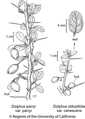 botanical illustration including Ziziphus obtusifolia var. canescens