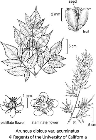 botanical illustration including Aruncus dioicus var. acuminatus