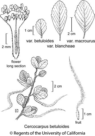 botanical illustration including Cercocarpus betuloides var. betuloides