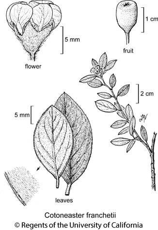 botanical illustration including Cotoneaster franchetii