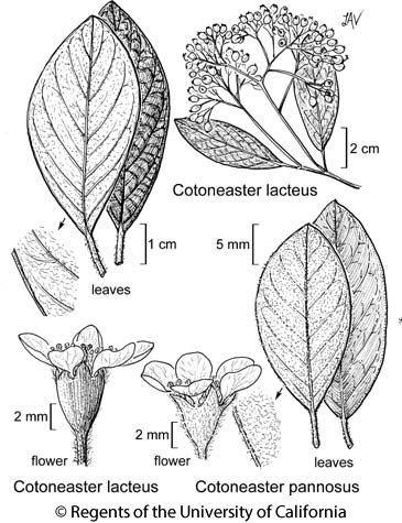 botanical illustration including Cotoneaster pannosus