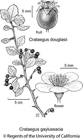 botanical illustration including Crataegus douglasii
