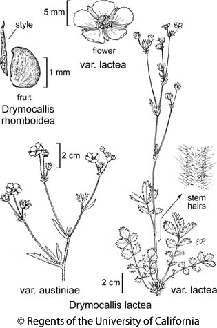 botanical illustration including Drymocallis lactea var. lactea