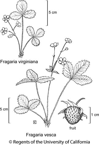 botanical illustration including Fragaria vesca