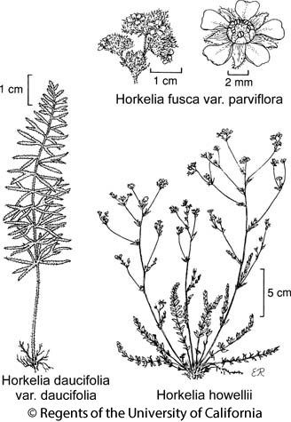 botanical illustration including Horkelia daucifolia var. daucifolia