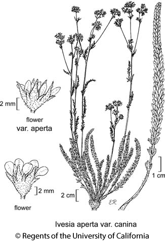 botanical illustration including Ivesia aperta var. canina