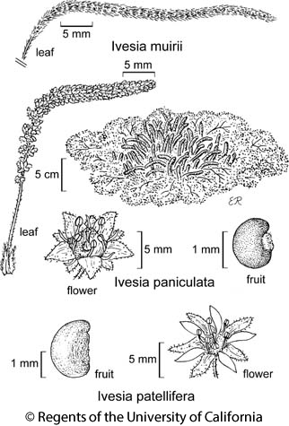 botanical illustration including Ivesia paniculata