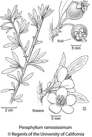 botanical illustration including Peraphyllum ramosissimum