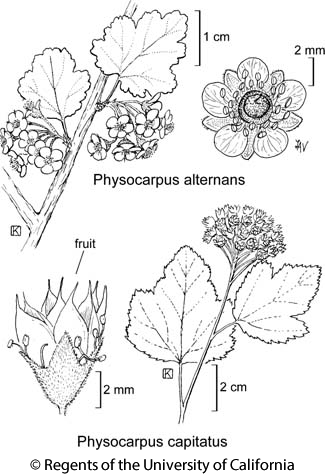 botanical illustration including Physocarpus capitatus