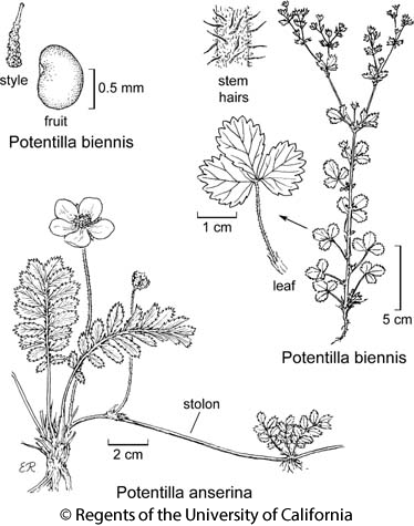 botanical illustration including Potentilla biennis